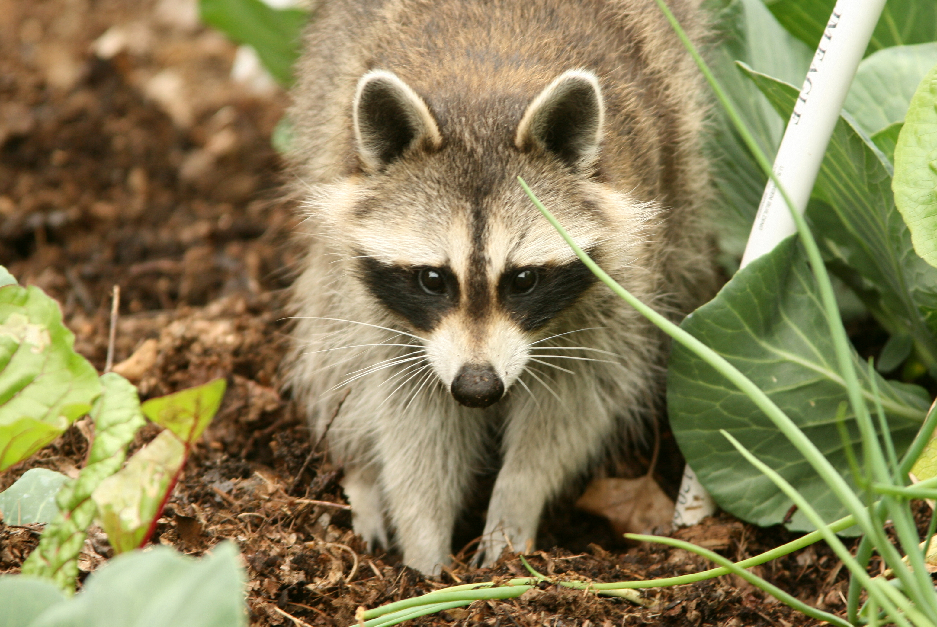 Raccoons and compost a common sense primer arlington heet How to keep raccoons out of garden